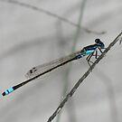 Dragonfly blue by Kristi Bryant