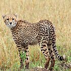 Cheetah by rmc314