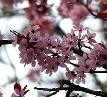 Pink Flowers by Abhijeet Basu