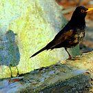 Blackbird singing at the break of dawn by Alan Mattison
