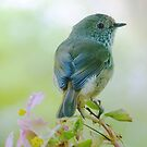 Brown Thornbill by Meg Hart