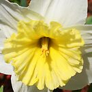 Daffodil in Bloom by Laurel Talabere