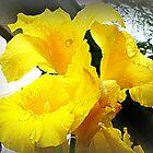 Yellow Canna - friend's Garden by EdsMum