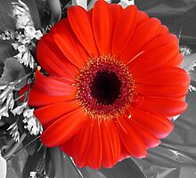 Cherry Gerbera by DEB CAMERON