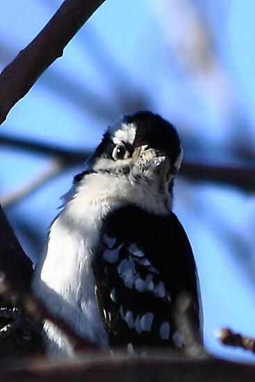 I Know I'm Cute - Downy Woodpecker by KatsEye
