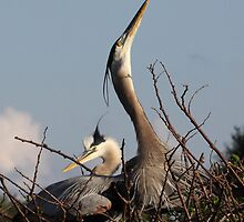 Great Blue Heron Nest Builders by Gail Falcon