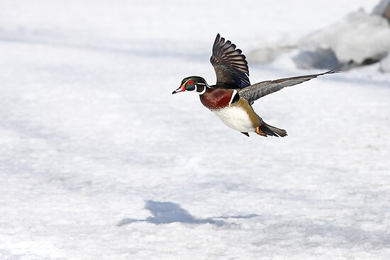 Wood Duck by Jim Cumming