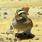 White-throated Sparrow ( Zonotrichia albicollis) by Kyle Wolff