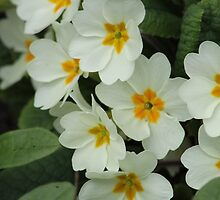 Modest little Primroses. by Poverty