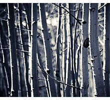 Aspens Photographic Print