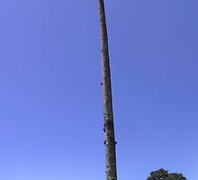 Very tall palm tree by Frans Harren