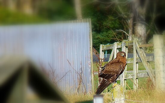 Harry The Harrier Hawk on Fence Post - New Zealand  by AndreaEL