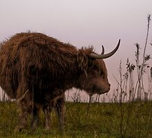 Scottish Highlander by Henri Ton
