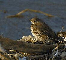 American Pipit at the Lakeshore by Robert Miesner