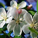 Apple Blossoms by Mattie Bryant