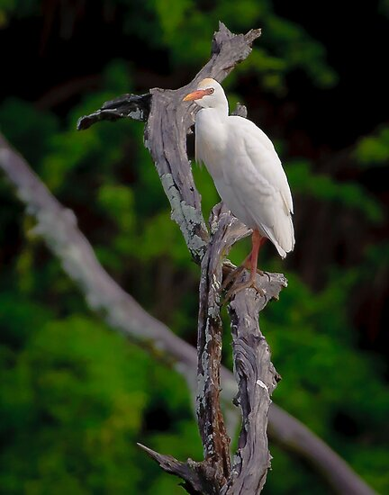 cattle egret by j Kirk Photography                      Kirk Friederich