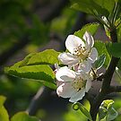 Apple Blossom by WatscapePhoto