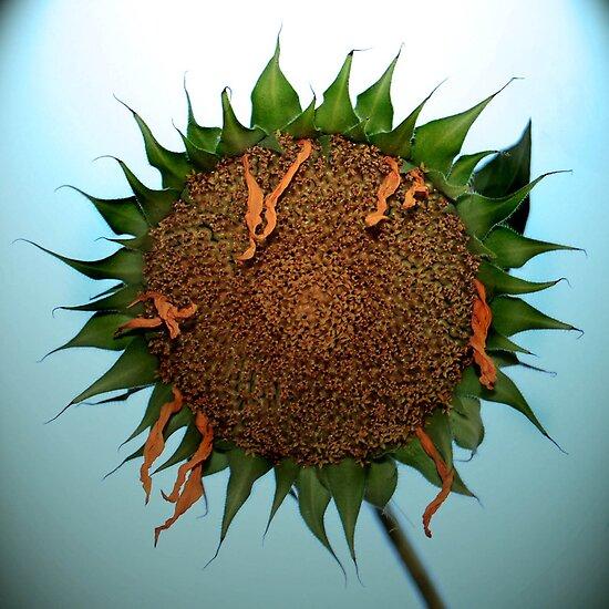 Sunflower by Virag Anna Margittai