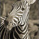 Zebra I by Dave Cauchi