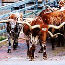 Cattle Drive Thru The Streets Of The Fort Worth Stockyards 2 by jphall