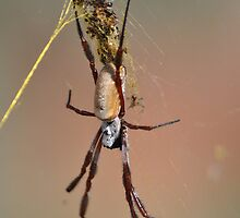 Loving Couple, a pair of Orb Weavers by Owen65