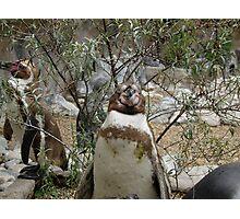 Penguin - Staring Photographic Print