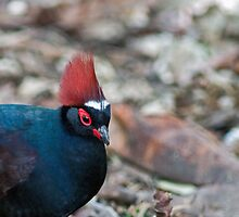 Male Crested Wood Partridge by Winston D. Munnings