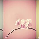 orchid triptych by Angel Warda