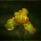 Yellow Iris by swaby