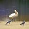 hopping wood pigeon steals show from swan by Steve