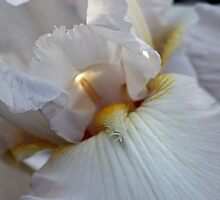 Immortality Iris Photo number 2 by Sherry Cummings