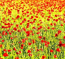 Poppies field by Francesco Malpensi