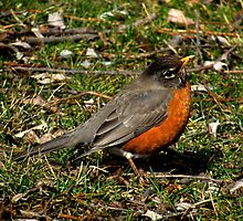 Don't I Look Cute!  (American Robin) by Robert Miesner
