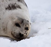 Harp Seal - Yearling by Stephen Rowsell