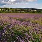 Ripening lavender near Alton, Hampshire by Alex Cassels