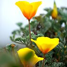 California Poppies Singled Out by Mark Redfern