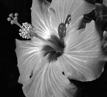 Hibiscus Black and Whitus by Glenn Cecero
