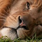 The Lion sleeps tonight (Panthera leo) by ©FoxfireGallery / FloorOne Photography