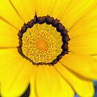 Close Gazania Study by jayneeldred