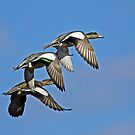 American Wigeons Flying Above Fern Ridge Lake  by Chuck Gardner