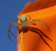 Goldenrod Crab Spider by Leslie Guinan