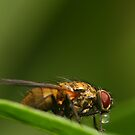 Fly on a leaf 2 by Jouko Mikkola