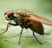 Fly on a leaf 3 by Jouko Mikkola