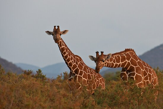 Reticulated Giraffe - Samburu National Park, Kenya by Sue Earnshaw