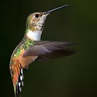 Rufous Hummingbird in Flight by Randall Ingalls