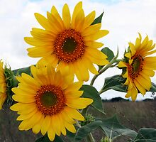 Sunflowers by Kobus Olivier