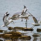 Seagulls Taking Off by ksmdigiphoto