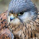 Kestrel ~ Falco Tinnunculus ~ by Sandra Cockayne