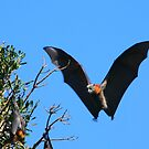 Grey-headed Flying Fox by naturalnomad