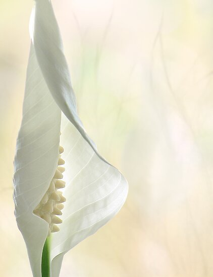 Peace Lily 1/2 by John Poon